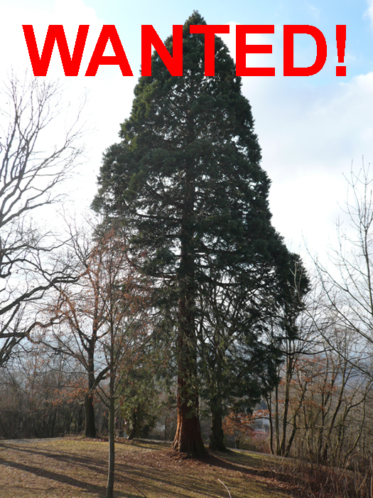 mammutbaum.jpg